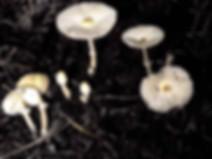 Leucocoprinus denudatus