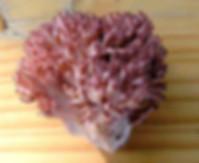 Ramaria botrytis