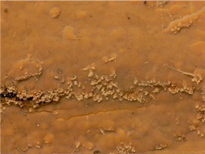 Dichostereum effuscatum