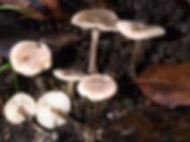 Lyophyllum platypus