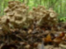 Dendropolyporus umbellatus