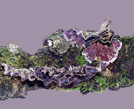 Chondrostereum purpureum
