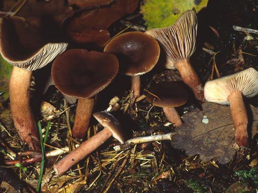 Lactarius hepaticus