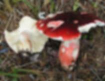 Russula rhodopus