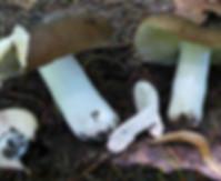 Russula adulterina