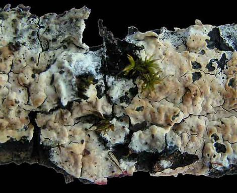 Cylindrobasidium laeve