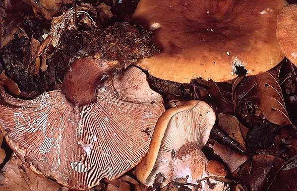 Lactarius rubrocinctus