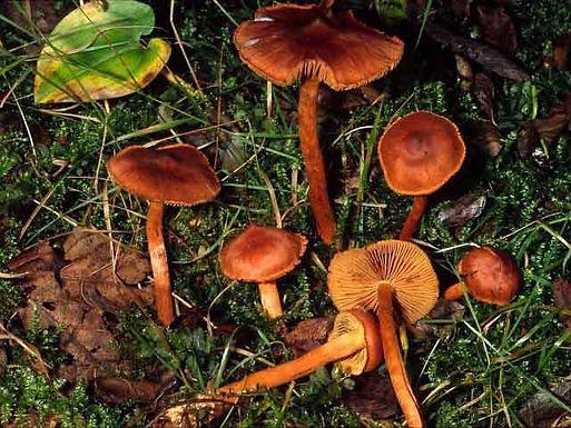 Cortinarius croceoconus