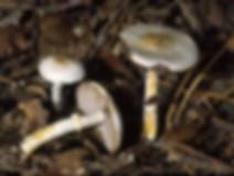 Agaricus niveolutescens