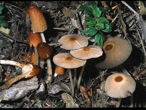 Coprinus leiocephalus