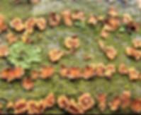 Pezicula carpinea