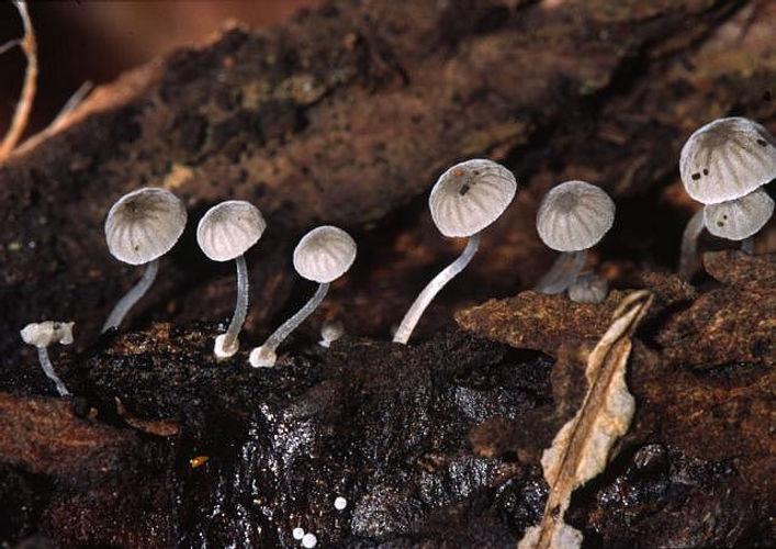 Mycena clavularis