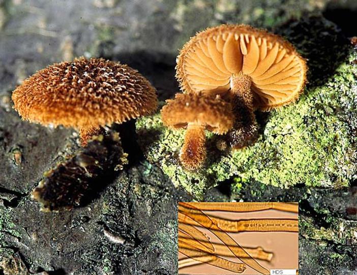 Phaeomarasmius erinaceus