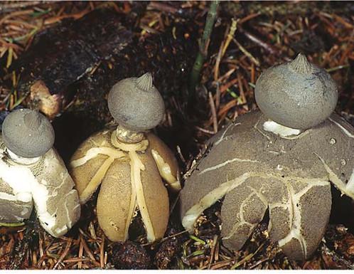 Geastrum pecktinatum