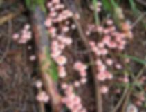 Mycena rosella