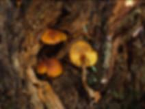 Gymnopilus bellulus