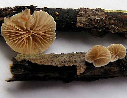 Crepidotus cesatii