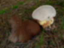 Scutiger pes-caprae