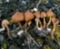 Cortinarius romagnesi