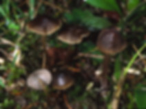 Mycena viridimarginata