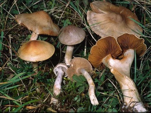 Cortinarius epsomiensis