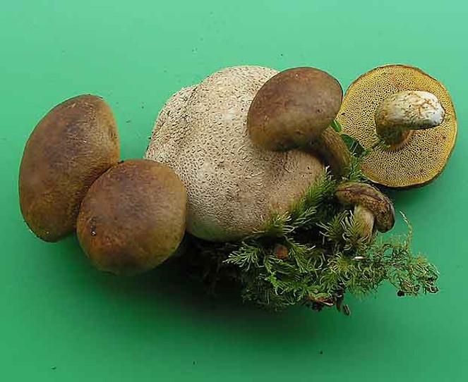 Xerocomus parasiticus
