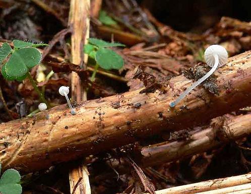 Mycena cyanorrhiza