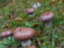 Cortinarius praestans
