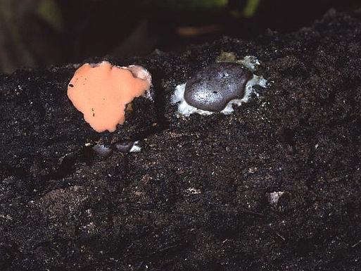 Dictydiaethalium plumbeum