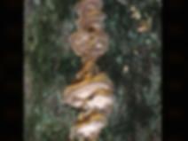 Inonotus radiatus