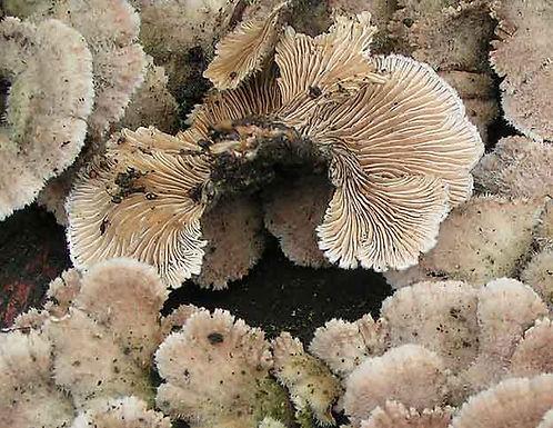 Schizophyllum comune