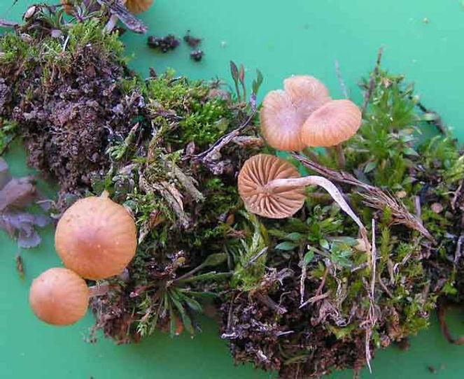 Omphalina pyxidata