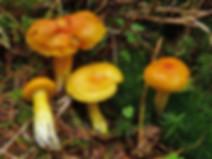 Hygrophorus speciosus
