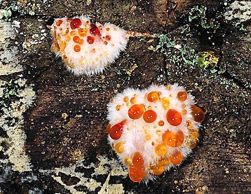 Oligoporus ptychogaster