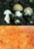Hebeloma senescens