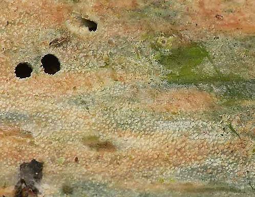 Resinicium bicolor
