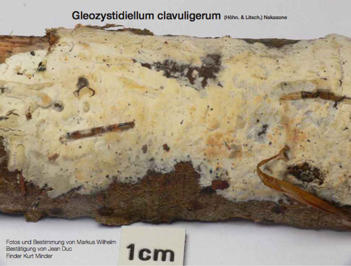 Gleozysdidielleum clavuligerum