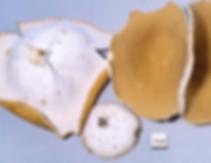 Peziza ceracea