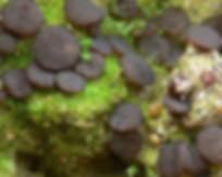 Ascobolus geophilus