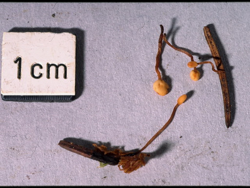 Heyderia cucullata