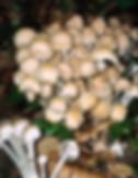 Psathyrella leucotephra
