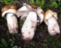 Russula illota