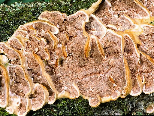 Gloeoporus dichrous