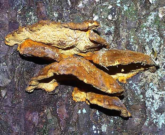 Pygnoporellus fulgens
