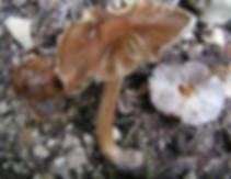 Inocybe maculata