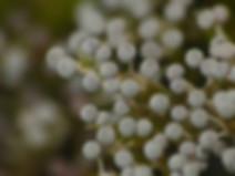 Physarum globuliferum
