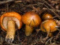Tricholoma aurantium
