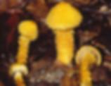 cortinarius humicola