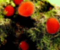 Scutellinia trechispora