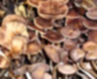 Psathyrella bipellis